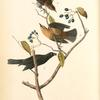 Rusty Crow-Blackbird, 1. Male 2. Female 3. Young (Black Haw)