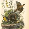 Meadow Starling or Meadow Lark, 1. Male 2. Female and nest (Yellow flowered Gerardia)