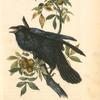 Raven, Old Male (Thick-Shell bark Hickory)