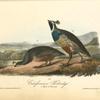 Californian Partridge, 1. Male 2. Female