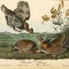 Pinnated Grouse, 1. and 2. Males 3. Female (Lilium Superbum)
