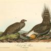 Cock of the Plains, 1. Male 2. Female