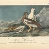 Rock Ptarmigan, 1. Male, Winter plumage 2. Female, Summer plumage 3. Young in August