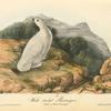 White-tailed Ptarmigan, Adult in Winter plumage