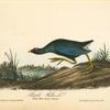 Purple Gallinule, Adult Male, Spring plumage