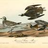 American Golden Plover, 1. Summer plumage 2. Winter 3. Variety in March