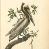 Brown Pelican, Adult Male