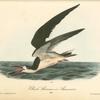 Black Skimmer or Shearwater, Male