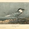 Sandwich Tern, Adult