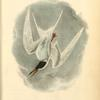 Common Tern, Male, Spring Plumage