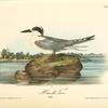 Havell's Tern, Adult