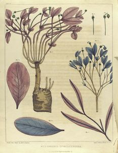 Euphorbia ipecacuanha.  (American ipecacuanha).