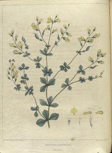 Baptisia tinctoria.  (wild indigo).
