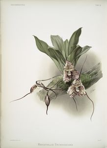 Masdevallia backhousiana.