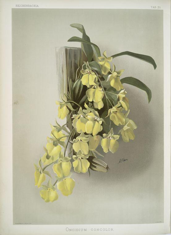 Onicidium concolor.
