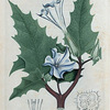 Datura Stramonium (Thorn apple).