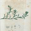 Arbutus Uva ursi. (Bear berry).