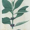 Triosteum petrfoliatum. (Fever root).
