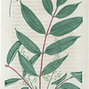 Rhus vernix. (Poison sumach or Dogwood).