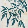 American maculata. (American Hemlock).