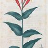 Spigelia Marilandica. (Carolina Pink root).