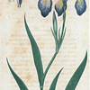 Iris versicolor. (Blue Flag, or Flower de luce).