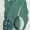Ictodes foetidus. (Skunk Cabbage).