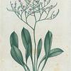 Statice Caroliniana. (Marsh Rosemary).
