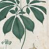 Panax quinquefolium. (Ginseng)