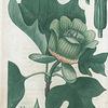 Liriodendron tulipifera. (Tulip tree).