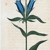 Gentiana Catesbæi. (Blue Gentian).