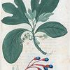 Laurus Sassafras. (Sassafras tree).