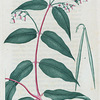 Apocynum androsæmifolium. (Dog's bane).