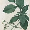 Dirca palustris. (Leather wood).