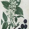 Rubus villosus. (Tall blackberry).