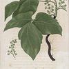 Rhus radicans. (Poison ivy).