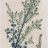 Juniperus communis. (Common juniper).