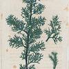 Juniperus Virginiana. (Red cedar).
