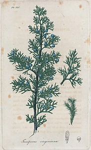 Juniperus Virginiana. (Red cedar).