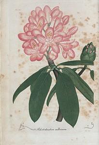 Rhododendrum maximum. (American rose bay)