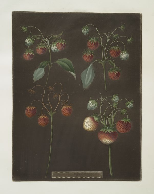 [Strawberry varieties: Early scarlet -Late scarlet -Golden-drop - Pine.]