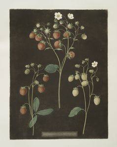 [Wood strawberry - The new early prolific strawberry - White Alpine.]
