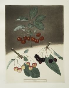 [May-Duke, the White and Black-heart Cherries.]
