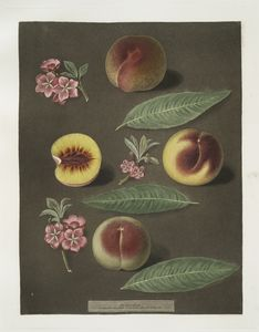 [Marlborough, Rumbullion, and the Double mountain peaches.]