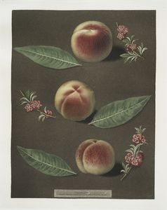 [Bourdine, Nivette, or Bell de Vitry and the Late admirable peaches.]