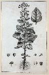 Nicotiana rustica. Linn.