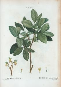 Dirca palustris = dirca des marais. [Leatherwood or Moosewood]
