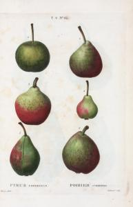Pyrus communis = Poirier commun. [6 varities of pears]