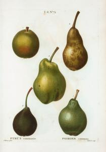 Pyrus communis = Poirier commun. [5 varities of pears]