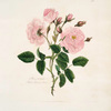 Rosa, provincialis = Blush province rose.